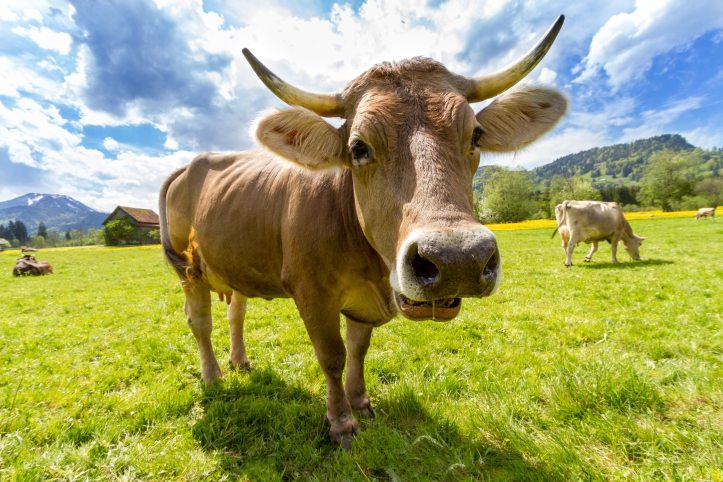 agriculture-animal-brown-swiss-36347